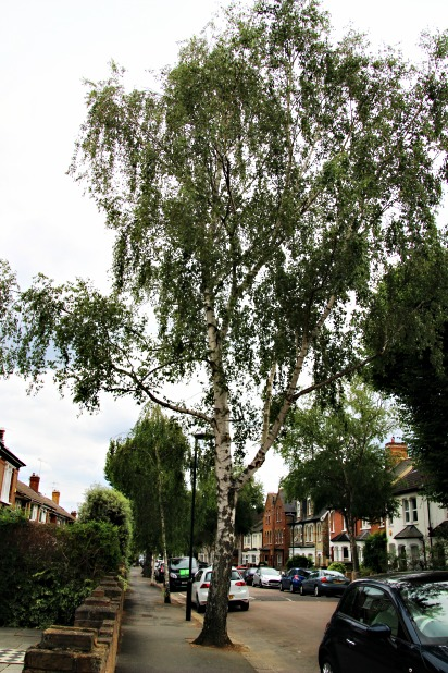 • 'Love Where You Live' – new trees for Teddington, courtesy of Squires